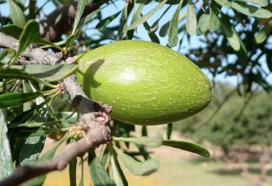 fruto del árbol de Argán del que se extrae el aceite