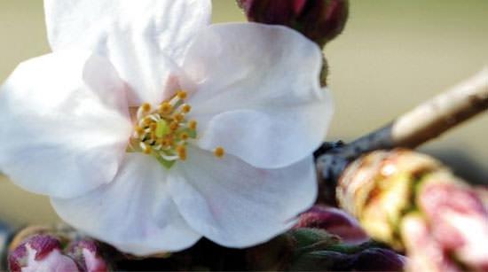 Sakura de Rituals