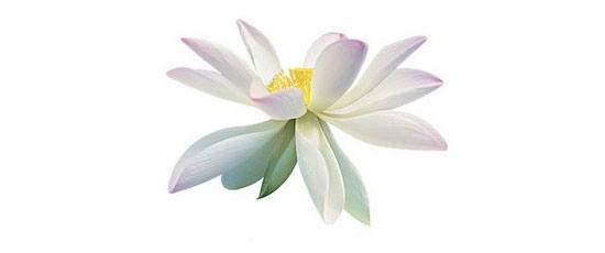 flor Loto blanco