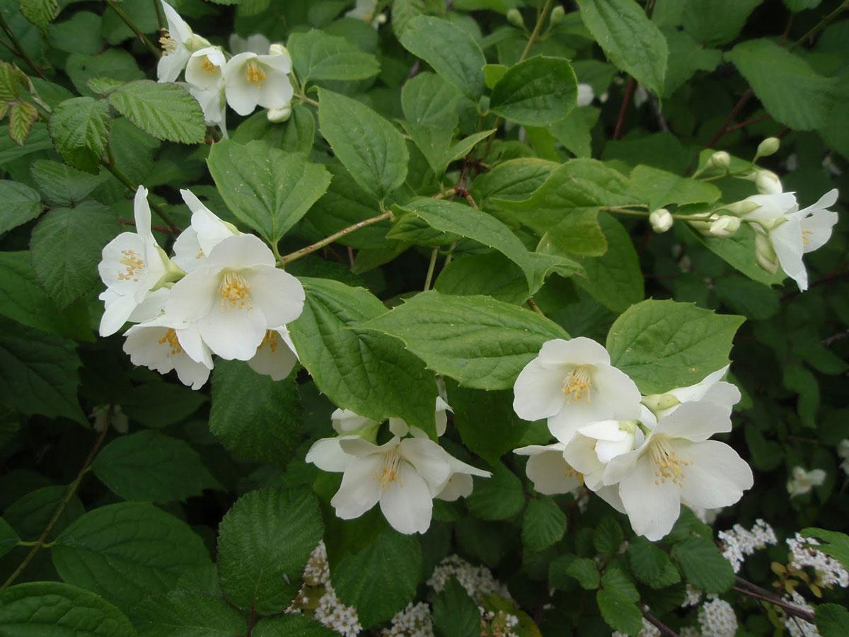flor de celinda o jeringuilla